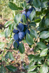 Cluster of ripe blue common plums growing on a branch of a plum tree