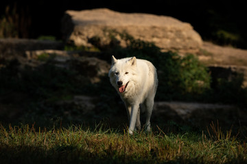Artic Wolf in the forest