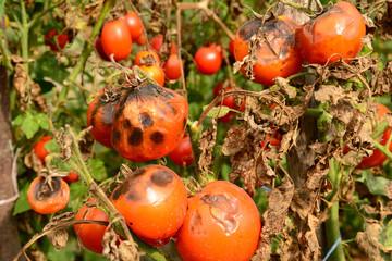 Obraz Tomatoes get sick by late blight. Phytophthora infestans. - fototapety do salonu