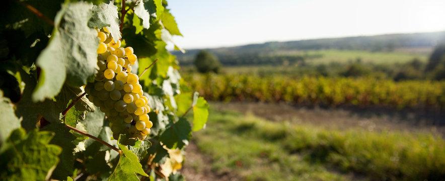 Raisin dans les vignes en France