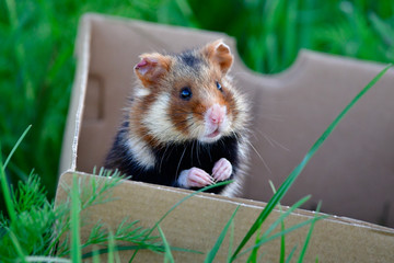 european hamster in box