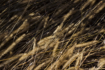 Dry ears of grass in the field, fluffy spikes of weeds, autumn, background