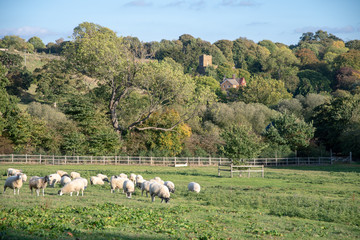 Sheep on pasture in front of autumn trees and village church in Oxfordshire, England