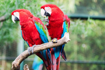 Couple of Scarlet Macaw