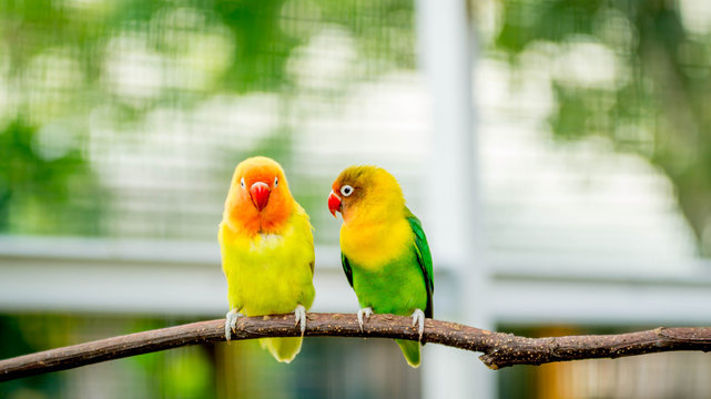 pair of lovebird agapornis fischery perching on the branch
