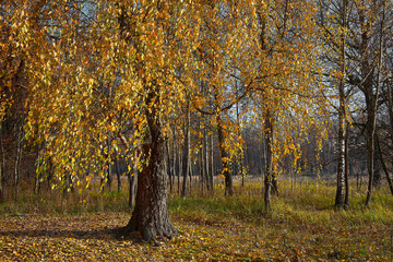 Falling oak leaves on the scenic autumn forest illuminated.