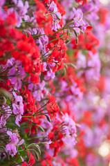 closeup of colorful geranium background