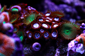 Deurstickers Onder water Colorful zoanthus polyp aquacultured in reef aquarium