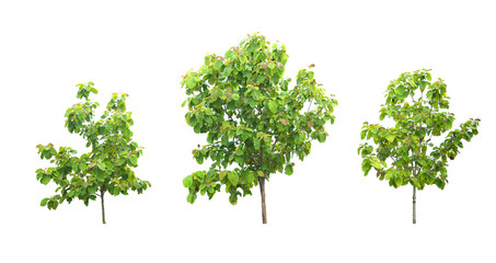 Teak 3 trees isolated on white background