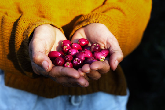 Woman holding native Australian Lilly Pilly fruit