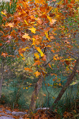 Autumn landscape with deciduous tree near creek. Late autumn at hot springs in Montanejos, Spain.