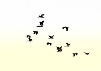 freedom,many,feather,outdoor,design,background,isolated,silhouette,black,sky,bird,birds,flight,fly,geese,flock,blue,nature,formation,animal,wildlife,clouds,migration,wild,group,sunset,wings,white,wing