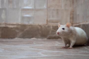 rato branco no chão de uma casa