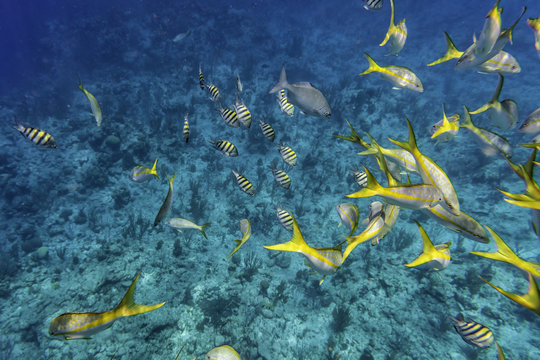 Yellow Tail Snappers and Sergeant Major fish. Underwater life. Selective focus