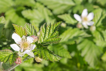 closeup of blackberry plant flower in bloom with blurred background