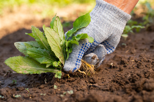 Close Up Of Gardening Hand In Glove Pulling Out Weeds Grass From Soil. Work In Garden.