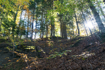 Wall Mural - forest in autumn colors with fall foliage and the sun shining landscape background