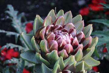 artichoke growing in summer sun at a garden in Capelle aan den Ijssel in Park Hitland