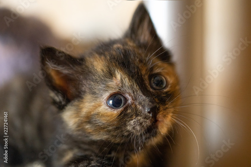 Cute little calico kitten with blue eyes is sitting on the floor