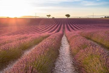 Big lavender field on sunset