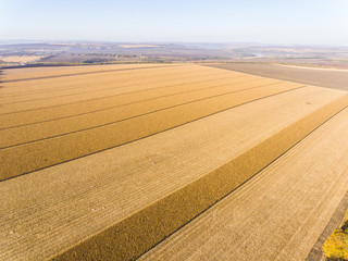 Cropped wheat field aerial drone shot top down