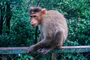 A monkey sitting on an old fence in the jungle