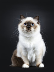 Excellent seal point Sacred Birman cat kitten with perfect white paws sitting with tail around body and looking up with blue eyes, isolated on black background