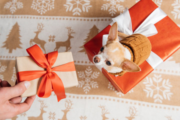 cropped shot of man giving christmas present to little chihuahua dog