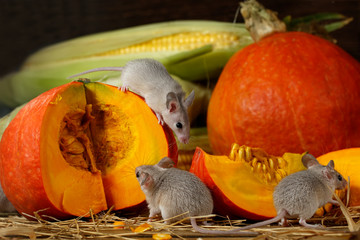 Close-up three young grey mice near corn and slices of orange pumpkin in the warehouse.