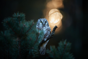Portrait of Boreal owl, Aegolius funereus, small, backlighted owl, known as Tengmalm's owl, sitting on a pine in a autumn taiga environment against rays of rising sun.  Early morning, Europe.