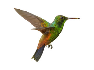 Obraz Isolated on white background, shining green, caribbean hummingbird with coppery colored wings and tail, Copper-rumped Hummingbird, Amazilia tobaci hovering in the air. Trinidad and Tobago. - fototapety do salonu
