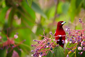 Bloody-red colored songbird, Silver-beaked Tanager, Ramphocelus carbo, south american tanager, feeding on purple berries in rain forest. Montezuma area, Tatama national park, Colombia.