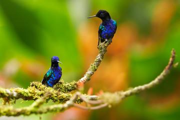 Velvet-purple Coronet, Boissonneaua jardini, two glittering blue hummingbirds perched on mossy twig against abstract orange background. Cloud forest, Montezuma, Tatama national park, Colombia.