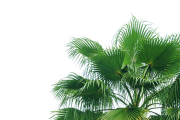 Exotic Tropical Palm Tree Isolated on White Background