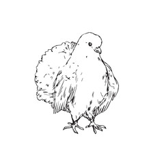 White dove, hand drawn doodle, sketch outline, vector illustration