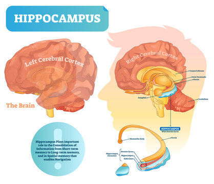 Hippocampus vector illustration. Labeled diagram with isolated closeup.