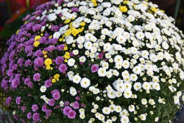 Petits chrysanthèmes