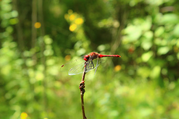 A dragonfly on a flower in a field. She considered her reflection in the lens and did not even want to fly away, posed. Photos, Forest, leaves, meadow, wildflowers, macro world, insects