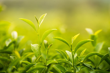 leaf green tea in the farm in the morning Fototapete