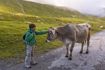 Child caresses a cow near Fiescheralp, Fiesch, Valais, Switzerland, Europe