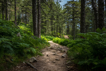 Photo sur Aluminium Route dans la forêt Mysterious path full of roots in the middle of wooden coniferous forrest, surrounded by green bushes and leaves and ferns found in Corse, France