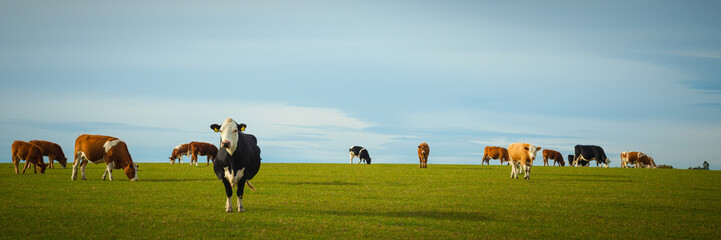 Photo sur Aluminium Vache Dairy Cows In Pasture