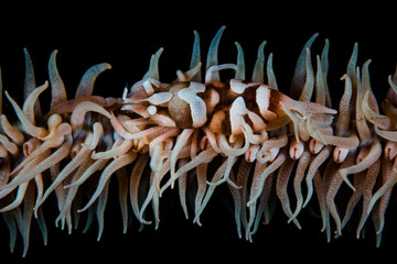 Whip Coral Shrimp on Reef in Indonesia