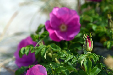 Wild or dog rose (rosa canina)