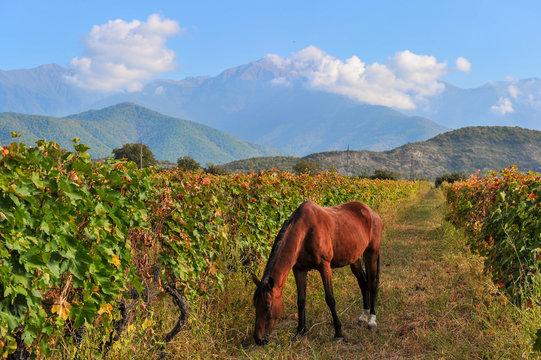 Horse on the background of rows of vines near Kazbegi, Georgia