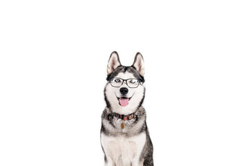 Smart dog concept. Portrait of young beautiful funny husky sitting with tongue out, wearing eyeglasses, white isolated background. Smiling face of domestic pet with pointy ears. Close up, copy space.