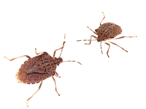 Brown marmorated stink bugs Halyomorpha halys, an invasive species from Asia. On white background.