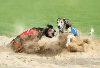 two greyhound dogs fighting in the finish