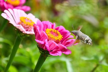 Butterfly collecting nectar on flowers. Hummingbird Hawk Moth (Macroglossum stellatarum) flying over flowers in garden