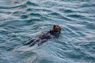 Sea Otter - Santa Cruz, california